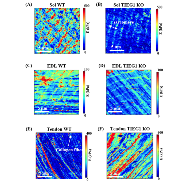Development of a novel multiphysical approach for the characterization of mechanical properties of musculotendinous tissues