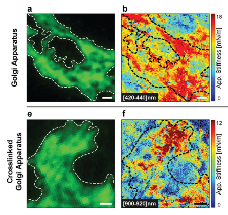 Stiffness tomography of eukaryotic intracellular compartments by atomic force microscopy